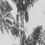 Kisah Kawung di Banten